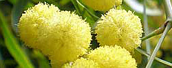 Care of the plant Acacia saligna or Orange wattle.