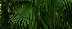 Care of the plant Livistona chinensis or Chinese fan palm.