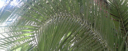 Care of the plant Phoenix reclinata or Senegal date palm.