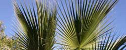 Cuidados de la palmera Washingtonia filifera o Palmera de California.