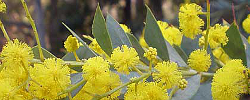 Care of the plant Acacia cultriformis or Knife-leaf wattle.