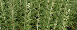 Care of the plant Artemisia afra or African wormwood.