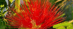 Care of the plant Calliandra tweediei or Mexican Flame bush.