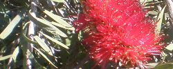 Care of the plant Callistemon glaucus or Albany Bottlebrush.