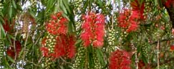 Care of the plant Callistemon viminalis or Weeping Bottlebrush.