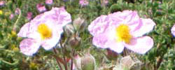Care of the plant Cistus creticus or Pink rock-rose.
