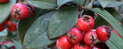 Care of the plant Cotoneaster pannosus or Silverleaf cotoneaster.