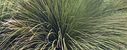 Care of the plant Dasylirion longissimum or Mexican Grass Tree.