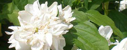 Care of the plant Philadelphus x virginalis or Virginal Mock Orange.
