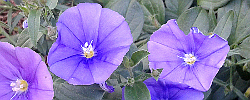 Care of the plant Convolvulus sabatius or Blue rock bindweed.