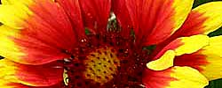 Care of the plant Gaillardia x grandiflora or Blanket Flower.
