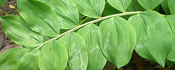 Care of the plant Polygonatum odoratum or Solomon's-Seal.