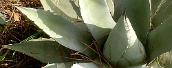 Care of the plant Agave parryi or Mescal agave.