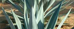 Care of the plant Agave sisalana or Sisal.