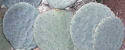 Care of the plant Opuntia robusta or Wheel cactus.