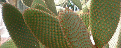 Care of the plant Opuntia rufida or Blind Prickly Pear.