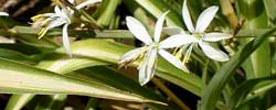 Care of the plant Chlorophytum comosum or Spider plant.