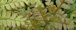 Care of the plant Didymochlaena truncatula or Tree Maidenhair Fern-