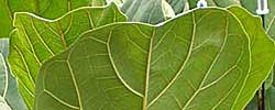 Care of the plant Ficus lyrata or Fiddle-leaf fig.