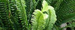 Care of the plant Nephrolepis exaltata or Boston Fern.