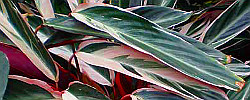 Care of the plant Stromanthe sanguinea or Stromanthe.
