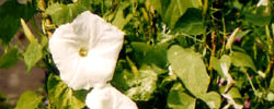 Care of the plant Ipomoea alba or Moonflower.