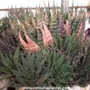 Aloe aristata