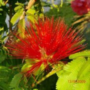 Calliandra tweediei