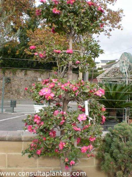 Camellia sasanqua o camelia de navidad cuidados - Cuidados de la camelia ...