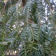 Cephalotaxus harringtonia
