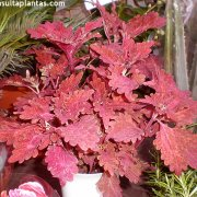 Coleus Stained Glass Copper