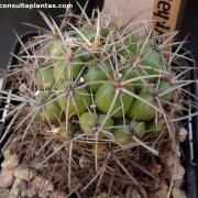 Coryphantha andreae