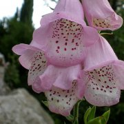 Digitalis minor