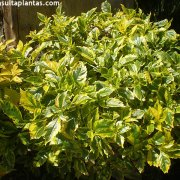 Duranta erecta Golden Edge