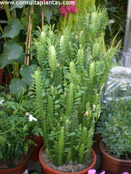 Euphorbia Trigona O Planta De La Leche Cuidados