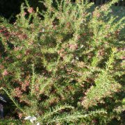 Grevillea Clearview David