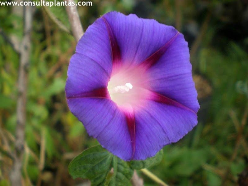 Ipomoea purpurea o don diego de d a cuidados for Ipomea purpurea