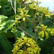 Ligularia tussilaginea