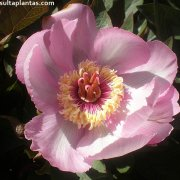 Paeonia cambessedesii