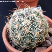 Pediocactus simpsonii ssp robustior
