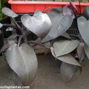 Philodendron sp