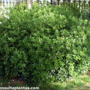 Pittosporum truncatum