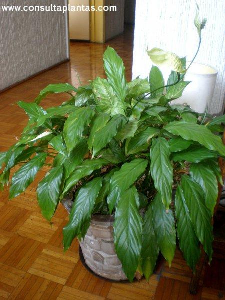 Spathiphyllum Wallissii O Espatifilo Cuidados