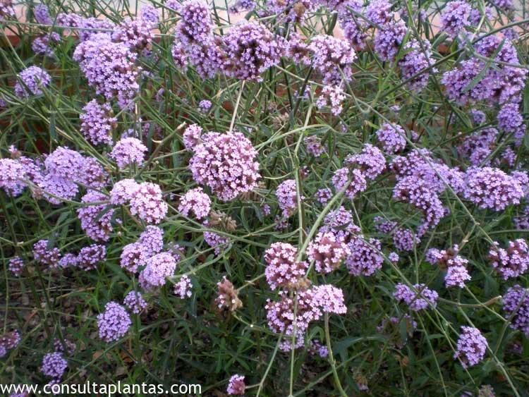 Verbena bonariensis o verbena p rpura cuidados - Planta verbena cuidados ...
