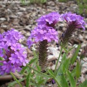 Verbena officinalis