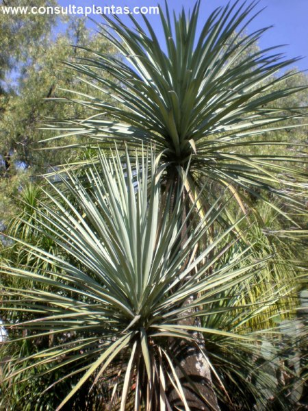 Yucca mixtecana o izote mixteco cuidados - Yucca elephantipes cuidados ...