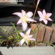 Zephyranthes carinata