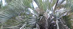 Care of the plant Butia capitata or Jelly palm.