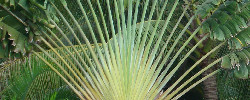 Care of the plant Ravenala madagascariensis or Traveller's tree.