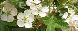 Care of the plant Crataegus monogyna or Common hawthorn.